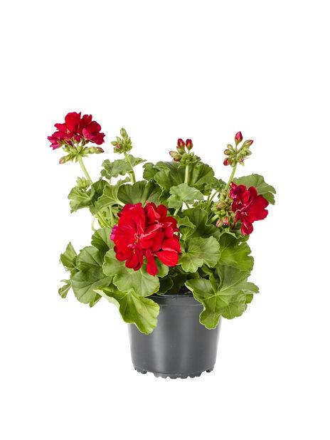 Kärlekspelargon, Red, Ø13 cm, Röd