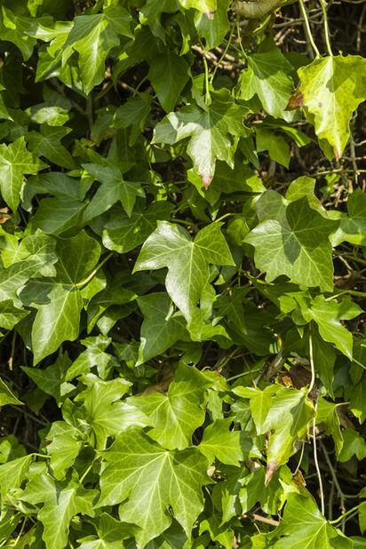 Storbladig murgröna 'Hestor', Höjd 15 cm, Grön