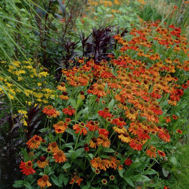 Trädgårdssolbrud 'Moerheim Beauty', Höjd 15 cm, Orange