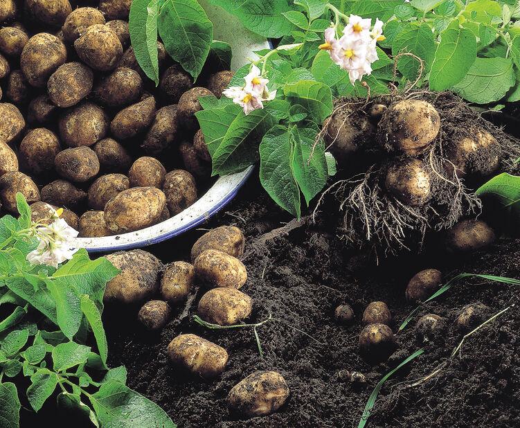 Sättpotatis 'Amandine', 1 kg, Flera färger