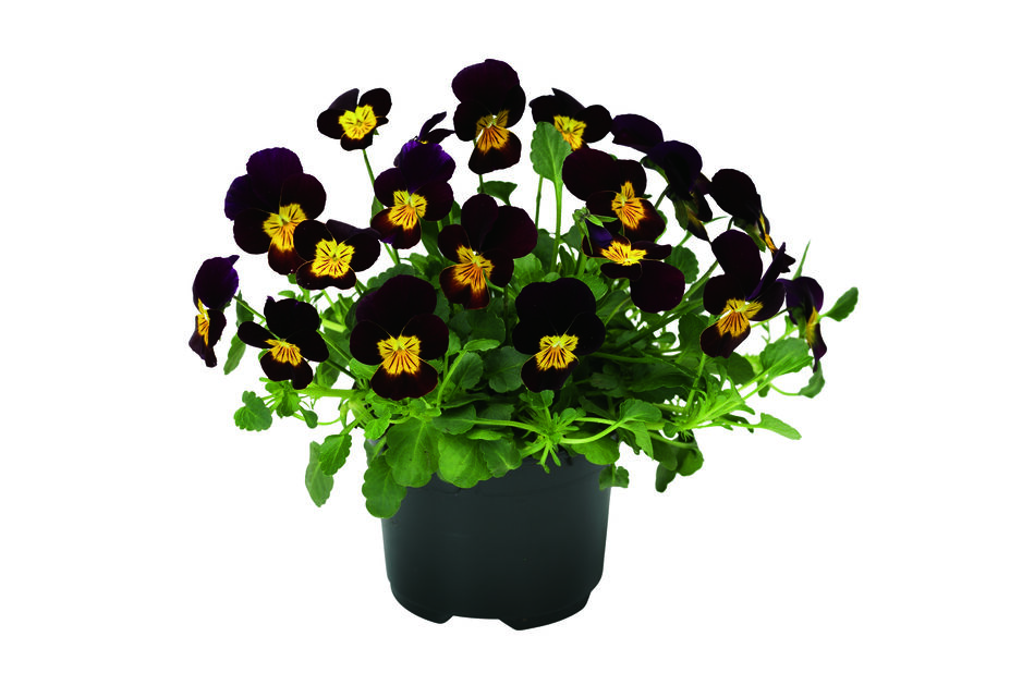 Viola small fl. Red 12 cm