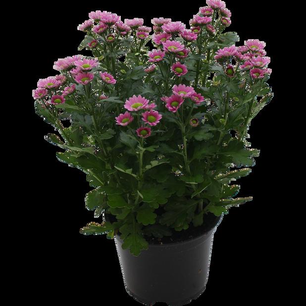 Krysantemum 'Trend', Höjd 25 cm, Flera färger