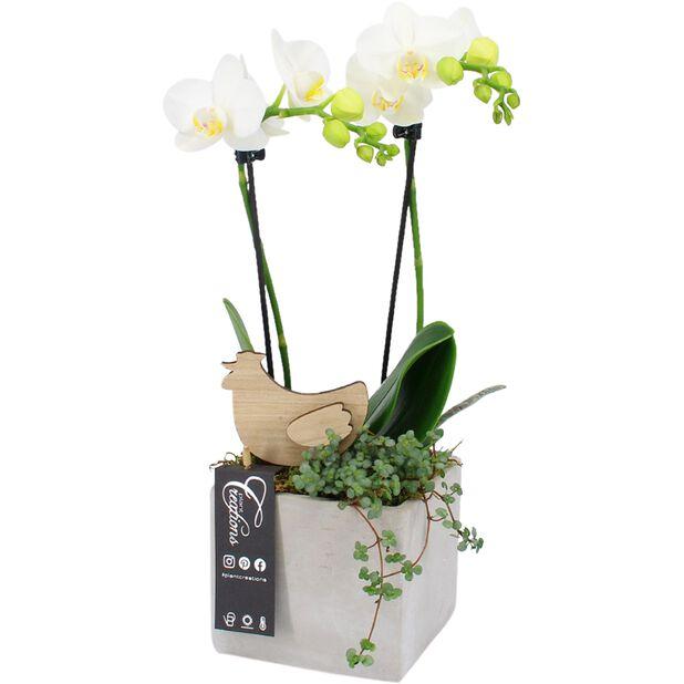 Påskgrupp orkidé, Höjd 45 cm, Vit