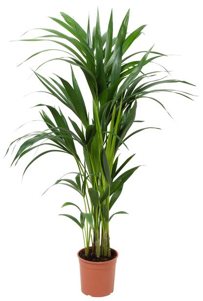 Förmakspalm, Höjd 100 cm, Grön