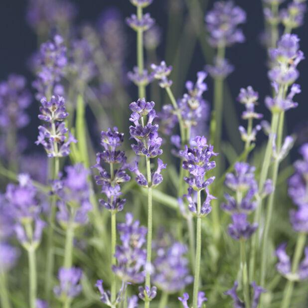 Lavendel, Ø17 cm, Blå