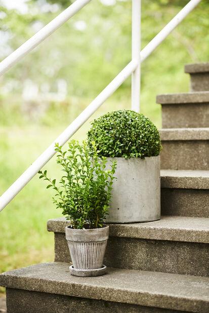 Trädbuxbom 'Arborescens' boll, Höjd 30 cm, Grön