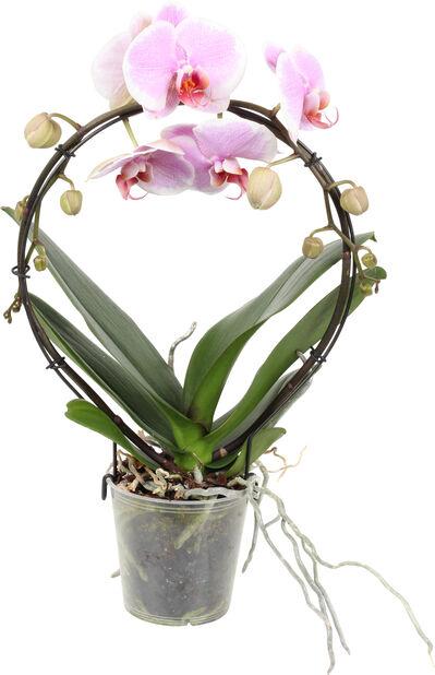 Brudorkidé på båge , Höjd 40 cm, Rosa