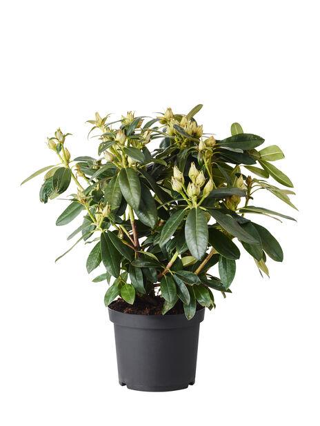 Yakushimanum-rododendron 'Percy Wiseman', Ø21 cm, Rosa