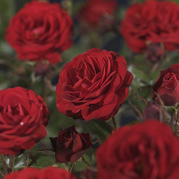 Klasblommig ros 'Europeana'