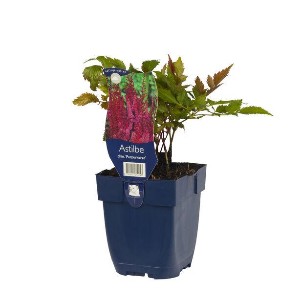 Plymastilbe 'Purplekerze', Höjd 15 cm, Rosa