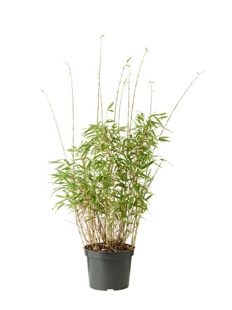 Bergbambu 'Rufa', Ø23 cm, Grön