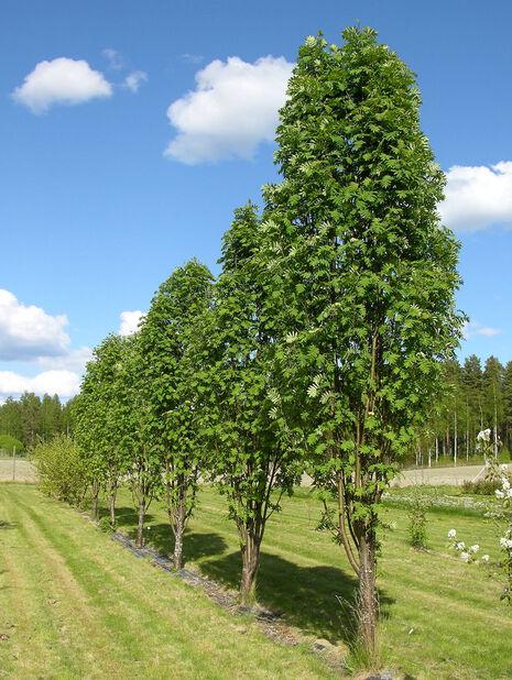 Sorbus aucuparia 'Fastigiata' 7,5L