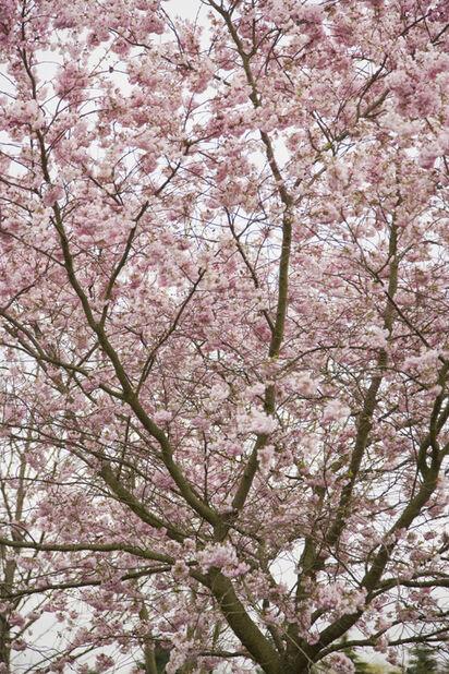 Vårkörsbär Accolade på stam