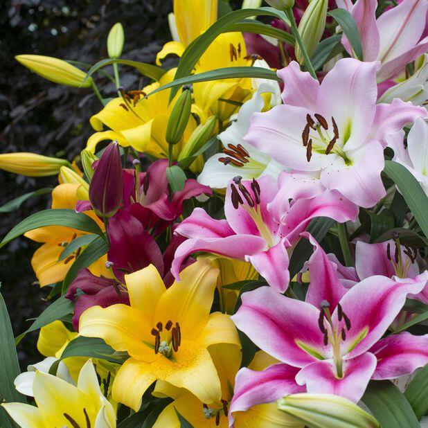 Orientlilja, olika sorter, Ø19 cm, Flera färger