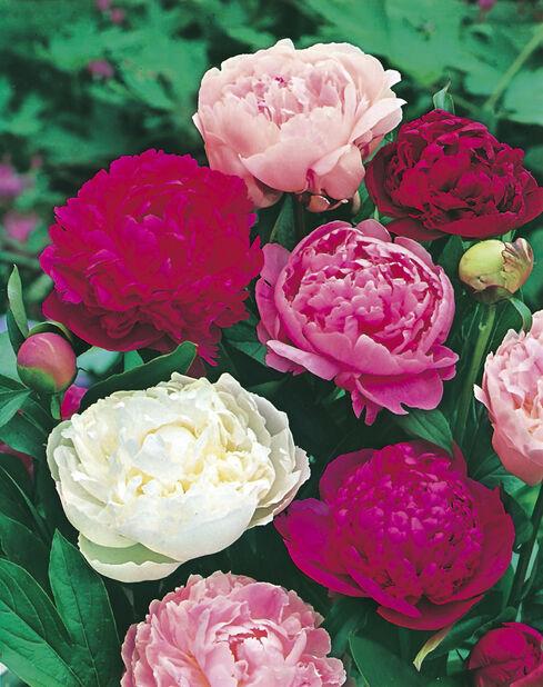 Luktpion, olika sorter, rosa