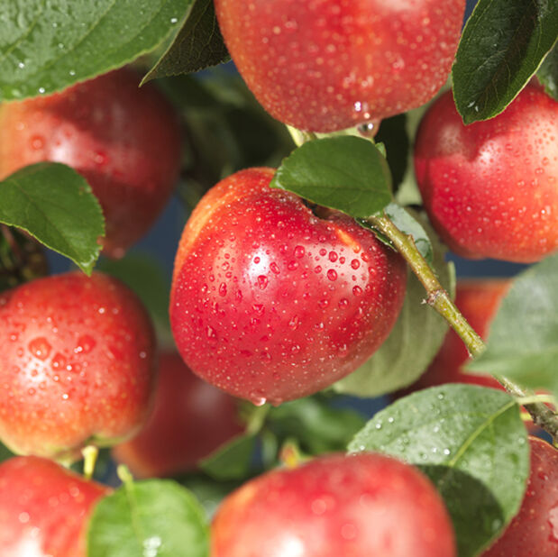 Äpple 'Alice', Höjd 150 cm, Röd