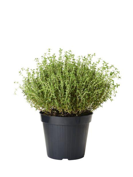 Timjan, Ø14 cm, Grön