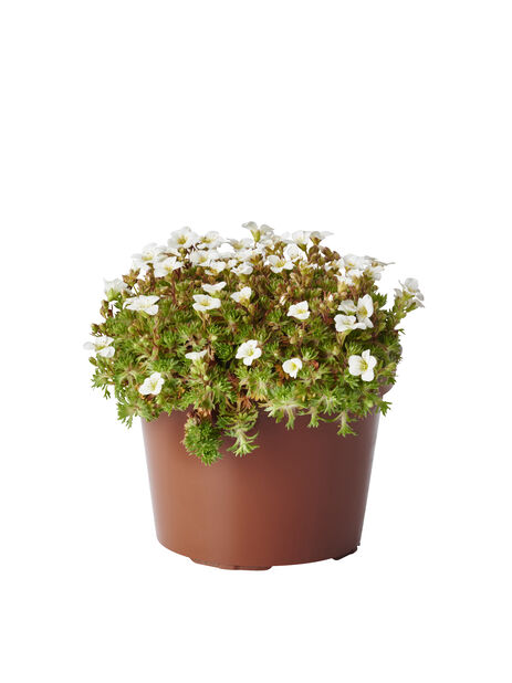 Rosenbräcka, olika sorter, Ø12 cm, Flera färger