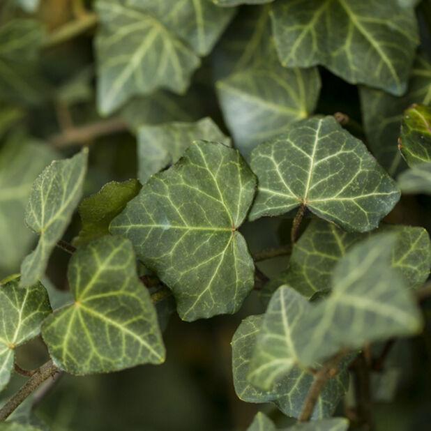 Storbladig murgröna 'Woerner' på torn , Höjd 75 cm, Grön