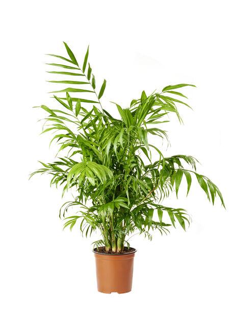 Bergpalm, Höjd 90 cm, Grön