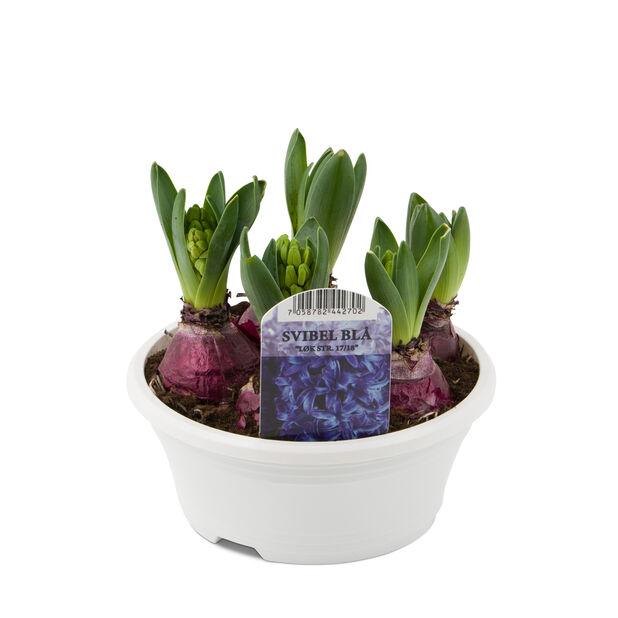 Hyacint i skål, Blå