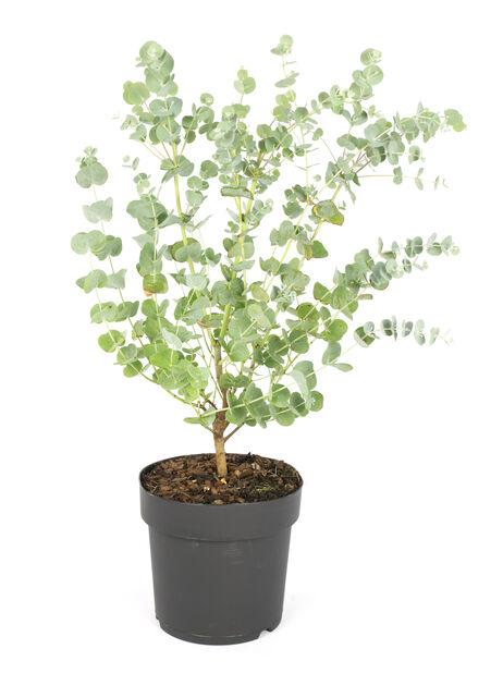 Silvereukalyptus 'Azura', Ø17 cm, Grå