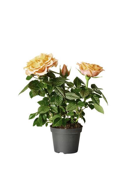 Ros i kruka , Höjd 12 cm, Rosa