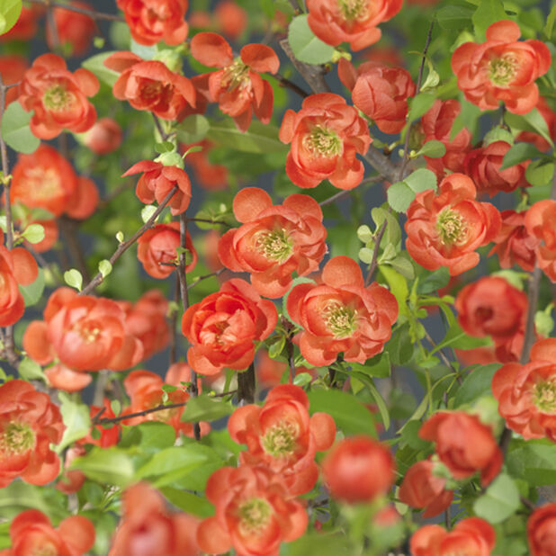 Liten rosenkvitten, Ø22 cm, Röd