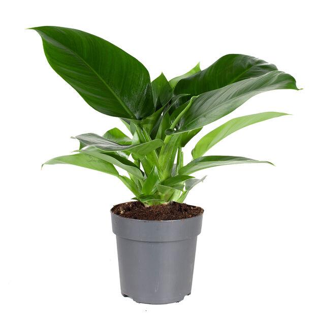 Fjäderkalla 'Imperial Green', Höjd 30 cm, Grön
