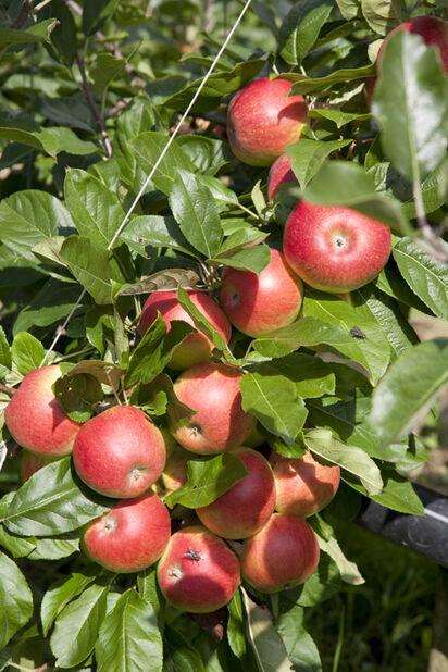 Äpple 'Amorosa' , Höjd 150 cm, Röd
