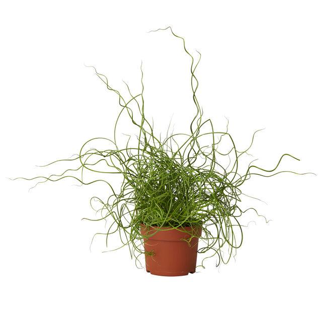Veketåg, Höjd 10 cm, Grön