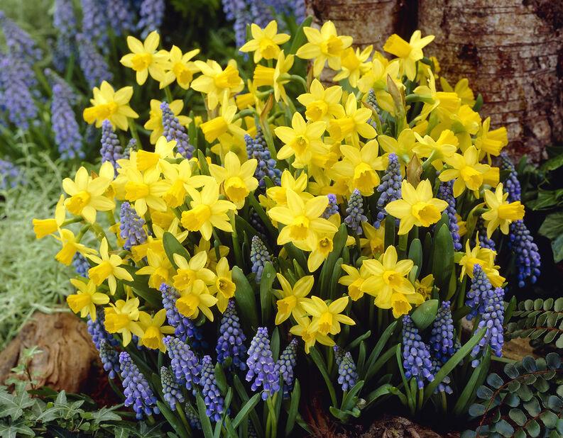 Narcissus 'Tete a Tete + Muscari'