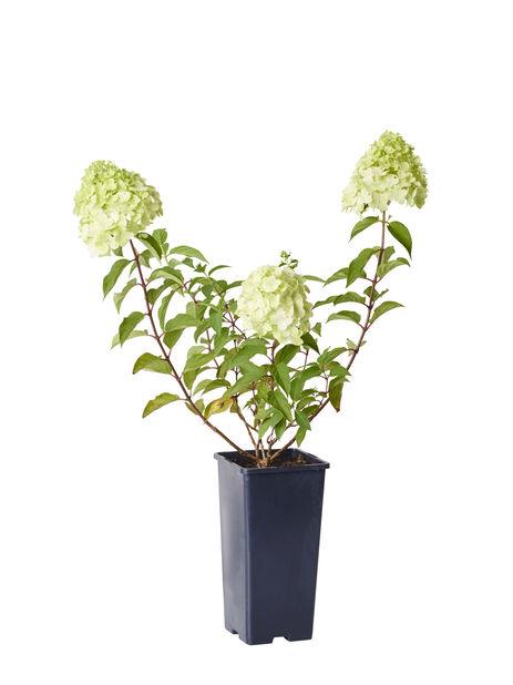 Syrenhortensia 'Grandiflora' 2 L