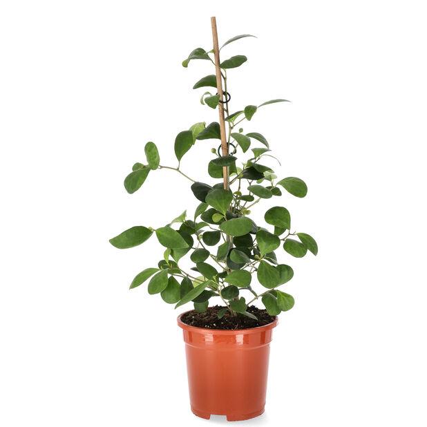 Pillerfikus, Höjd 40 cm, Grön