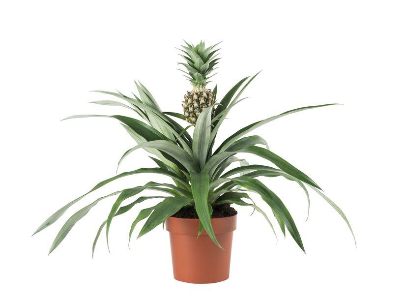 Ananas 'Corona', Höjd 45 cm, Grön