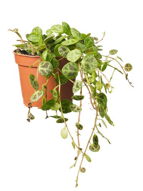 Grönväxtmix mini 6 cm