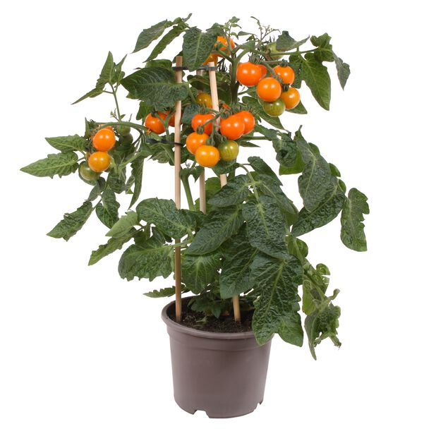 Körsbärstomat, Ø14 cm, Orange