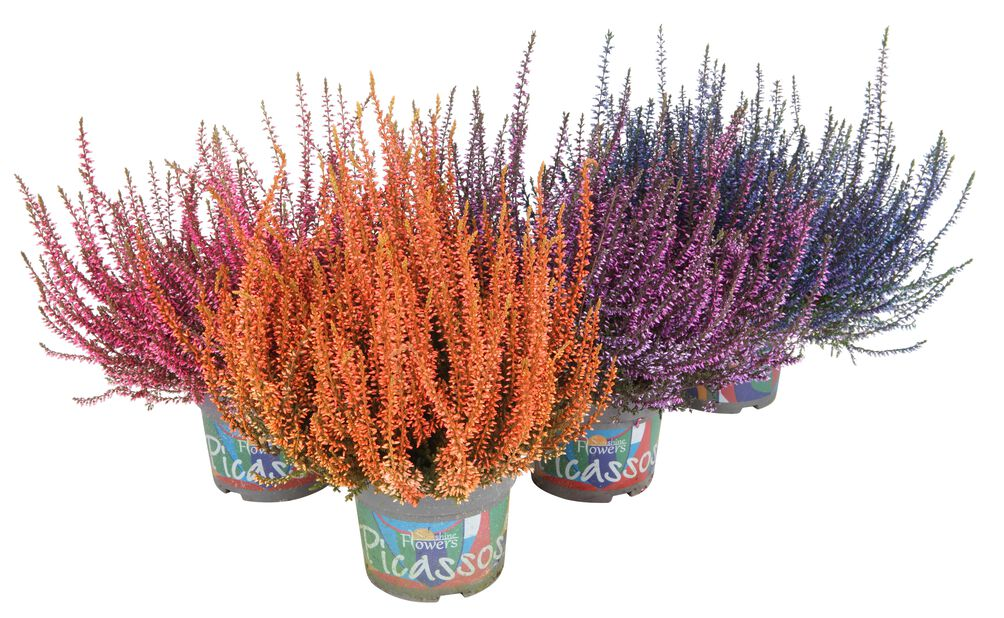 Ljung Calluna, Ø12 cm, Flera färger