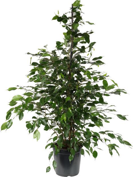 Benjaminfikus 'Danielle', Höjd 135 cm, Grön