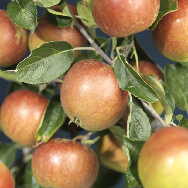Äpple 'Cox's Orange' , Höjd 180 cm, Orange