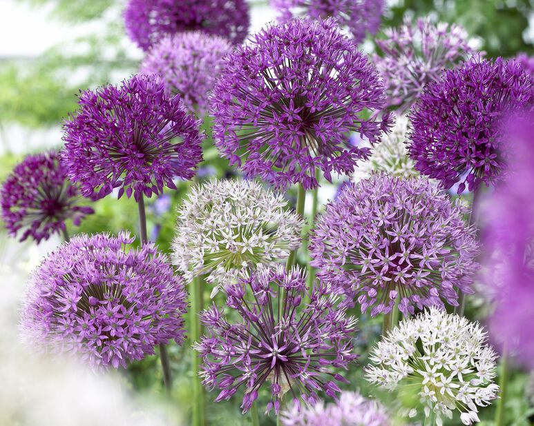 Allium 'Elegant', Flerfärgad