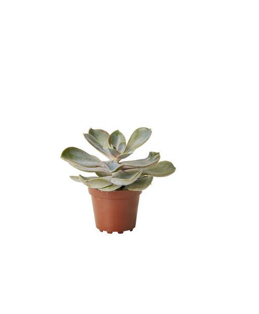 Echeveria mini