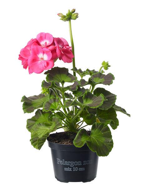 Zonalpelargon, Ø10.5 cm, Rosa