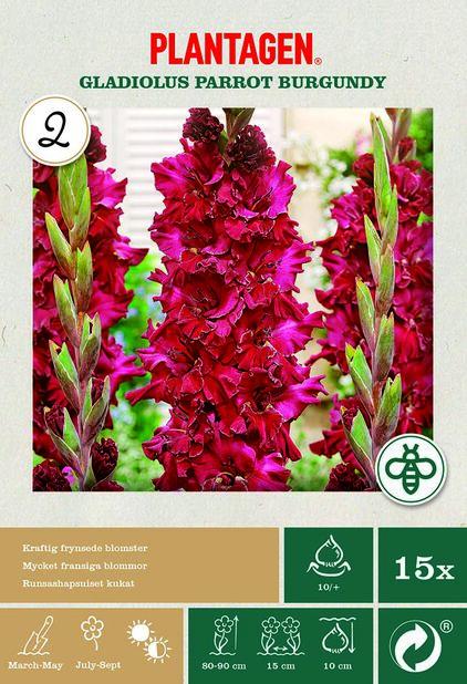 Papegojgladiol 'Burgundy', Röd