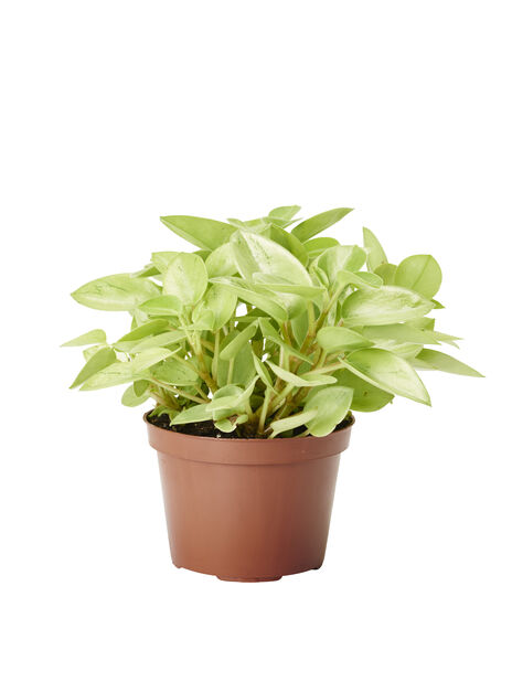 Fönsterpeperomia Pixie Lime liten