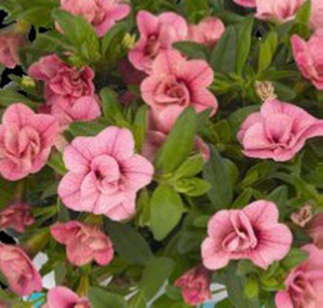 Petunia dubbel, Ø12 cm, Rosa