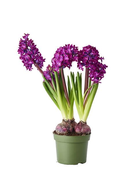 Hyacint, Ø12 cm, Lila