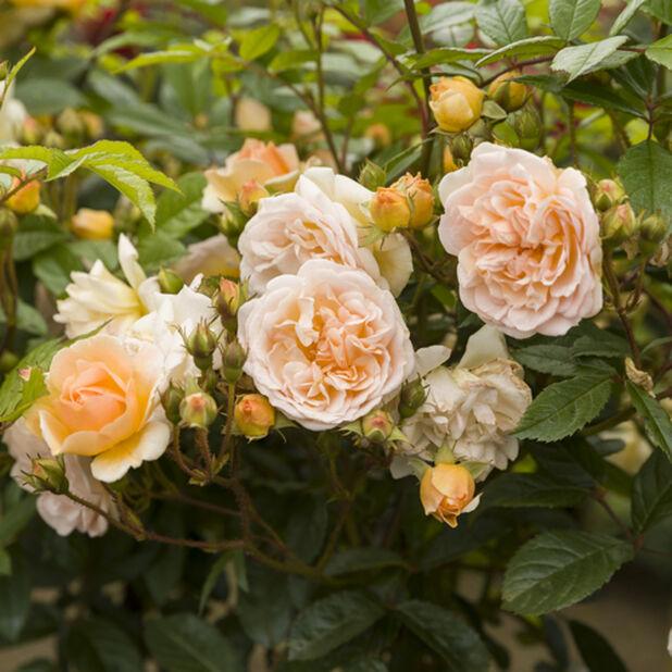 Rose 'Ghislaine de Feligonde', Ø19 cm, Vit