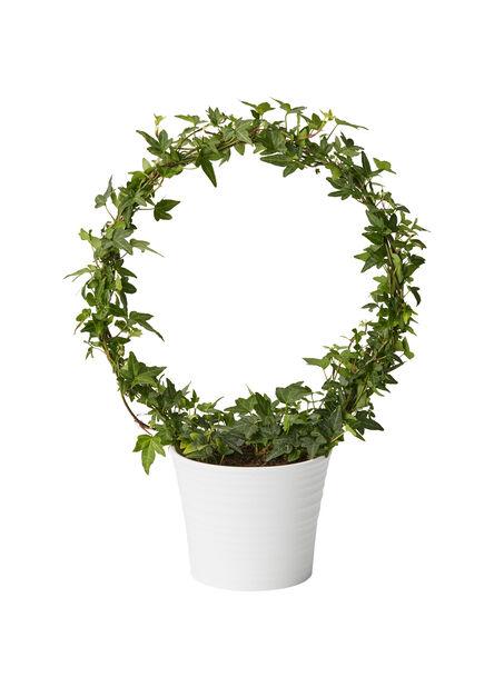 Murgröna på båge 12 cm