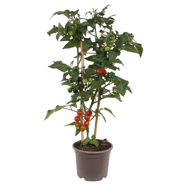 Tomat, Ø14 cm, Röd